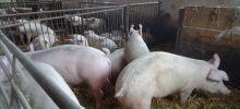 Zwiększenie efektywności w rozrodzie świń